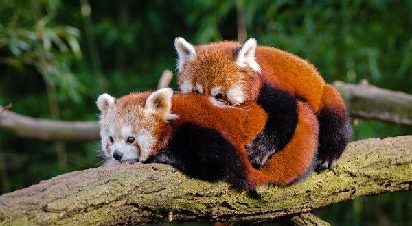 Красная панда сохраняет отношения