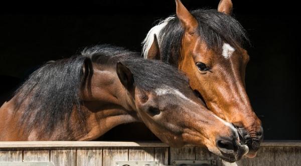 Лошади сохраняют отношения