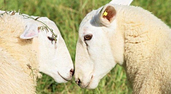 Овцы сохраняют отношения