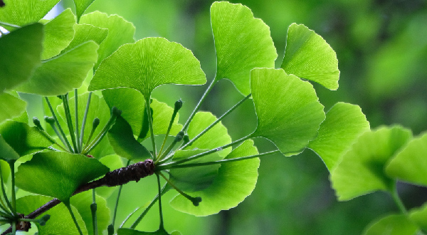 Травы для мозга - гинкго билоба